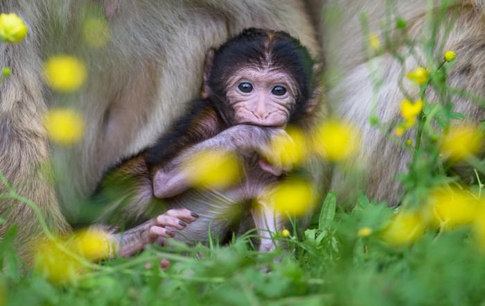 Affen Jungtier