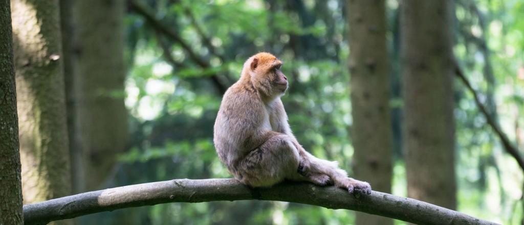 Affe auf einem Ast