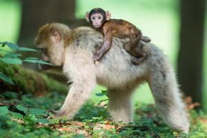 Affe mit Jungtier